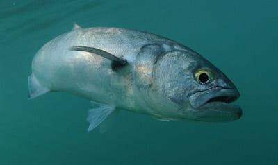 BluefishBait