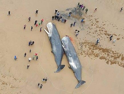 """לווייתנים """"התאבדו"""" בים"""