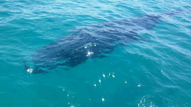 לוויתן
