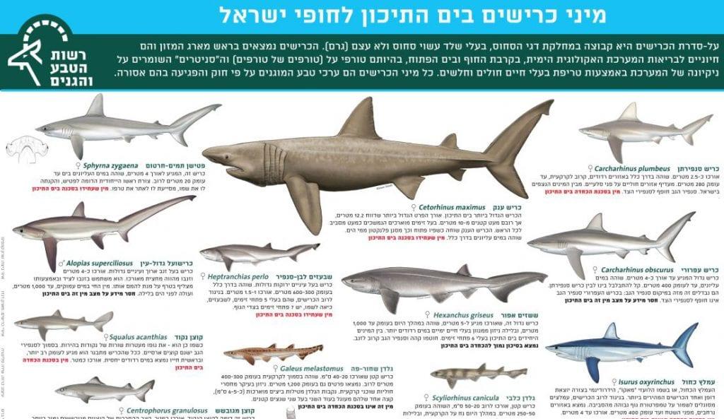 מיני כרישים