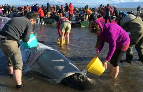 ניו-זילנד: מאות לווייתנים נתקעו על החוף (רשת)