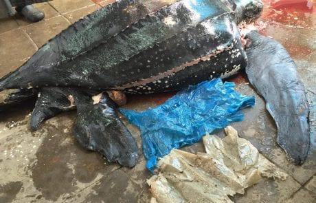 המרכז הארצי להצלת צבי ים – בתאריך 21.2.16 נפלטה לחוף הים בנתניה גופתה של נקבת צב ים גלדי , ממצאי הנתיחה