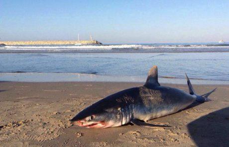 אתר אשקלונים: כריש נפלט לחוף בר כוכבא