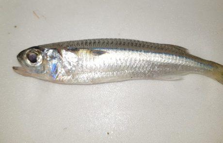 """בועז הדייג: """"דייג ביפו איזה דג זה"""""""