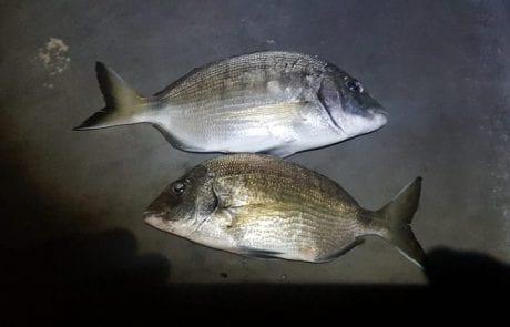 """מני בוזגלו הדייג: """"היה דיג טוב של סרגוסים חמורים"""""""