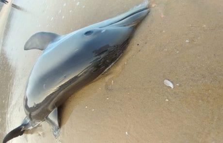 """יורם כהן: """"עצוב. דולפין באשקלון נפגע מסירה."""""""