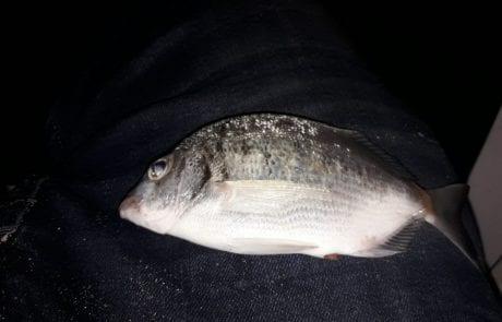 """אילן רפאל פינחס: """"פתאום מתחילות אכילות בלי סוף אחרי שלוש שעות מגיע  הדג סרגוס או דניס."""""""