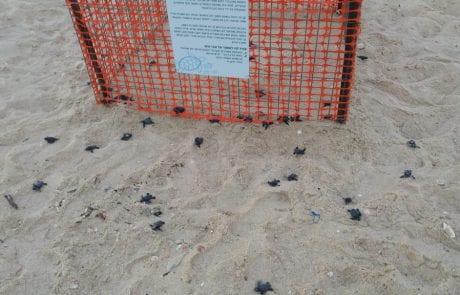 """יוסי: """"היום בפלמחים פקעו מאחד הכלובים ביצי צבים. מחזה יפה ביותר"""""""