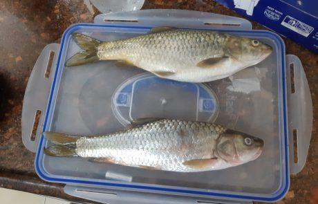 """אדי מנדלאוי: """"פעם ראשונה בז'רז'ור ואני מבין שזה לא בינית כי אין לה זנב צהוב אז איזה דגים אלו ? אשמח לסיוע בזיהוי"""""""