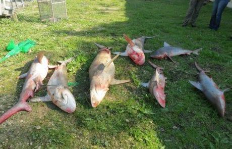 דגו שבעה כרישים מול יפו ונקנסו באלפי שקלים (YNET)
