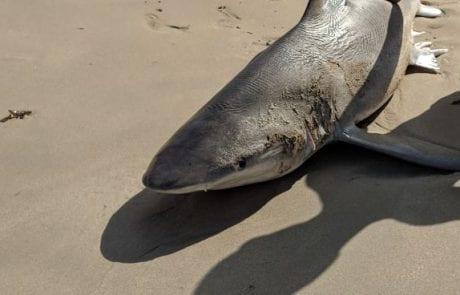 """אריה קליגר: """"כריש מת נפלט לחוף"""""""