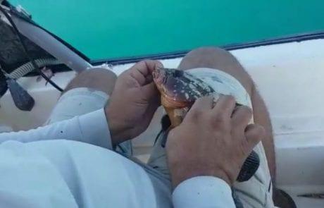 ראובן דייג ספורטיבי אמיתי משחרר לוקוס אדום מתחת לגיל רבייה כולל ניקוב נכון