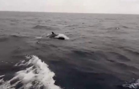 """תצפית נדירה מיאכטה, בדרך מקפריסין לארץ: עב-שן קטלני הדולפין הקרוב ביותר לקטלן (מחמל""""י – מרכז חקר, מידע וסיוע ליונקים ימיים)"""