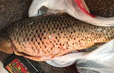 איציק מרקו: דיג בכנרת קרפיון ביניות ושפמנונים