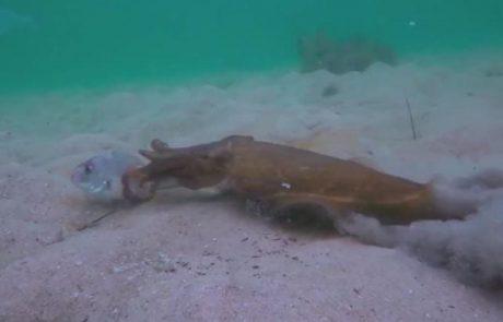 מתחת למים: סרטון מדהים של דיונונים תוקפים דגים