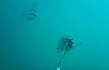 מתחת למים: גומבר תוקף בורי שנגרר ברתמה