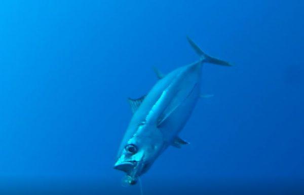 צילום מתחת למים של תפיסת טונה אלבקור בטרולינג – כולל רגע התקיפה על הדמוי