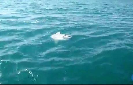 סקופ: צילום נדיר של דג שמש ביציאה ממרינה אשקלון (צילום : צחי ישורון)