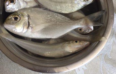 """קרויטורו בנימין: """"הדגים הללו נתפסו בתחנת הכח אורות רבין בחוף הים חדרה"""""""
