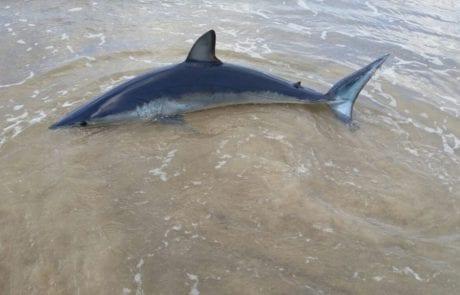 כריש היום במרינה הרצליה