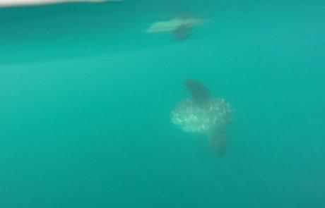 צילום נדיר של דג שמש באשקלון (צוות אמבר)