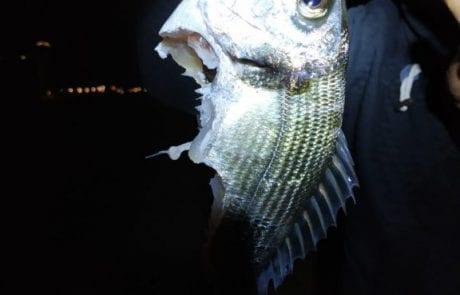 """רם יעקב: """"אתמול בחוף ריביירה בבת ים דיג עם רחפן מרחק 300 מטר נתפס דניס במשקל של קילו אם נשיכה רצינית"""""""