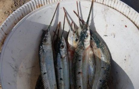 """חיים נחמיאס: """"דיג שפיצים – רציתי טיפים בתפיסת שפיצים, מקומות ושיטות?"""""""