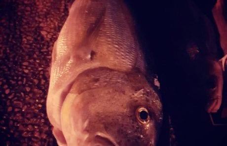 """אסף ט: """"עומק 7 מטר. דג מדהים שלא רואים הרבה תפיסה עם רובה צלילה"""""""