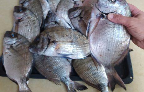 """עמנואל: """"סרגוסים תפלצות – ממוצע של חצי קילו לדג"""""""