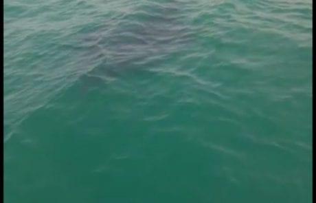 מיקי עם מחזה נדיר – להקה של חתולי ים ענקיים ליד הסירה שלי