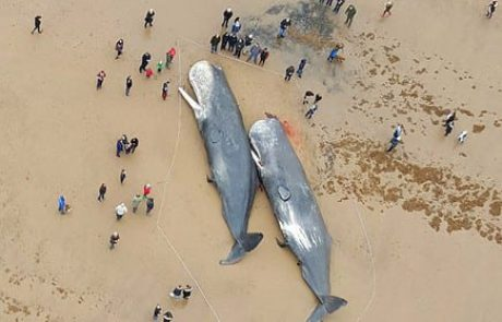 """MAKO: זה ממשיך: 16 לווייתנים """"התאבדו"""" בים הצפוני"""