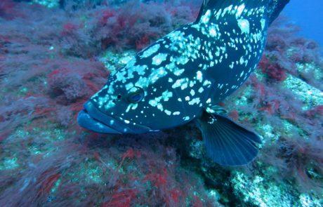 """""""מגינים על הדגים מבלי לפגוע בפרנסת הדייגים: השרה להגנת הסביבה, גילה גמליאל, החליטה להוסיף את דקר אלכסנדרוני לרשימת המינים המוגנים באופן קבוע"""""""