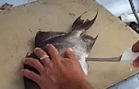 איך לנקות ולפלט חזיר ים \ נצרן \ Triggerfish